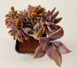 Graptoveria Fred Ives CREST