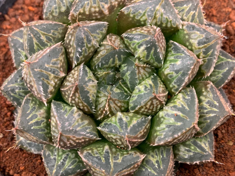 Haworthia Obtusa Mirror ball