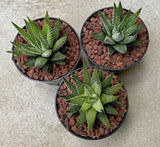 Haworthia Boston