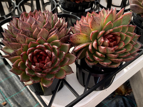 Echeveria Agavoides Blood Maria with offsets succulent plant