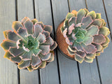 Echeveria Neon Breakers