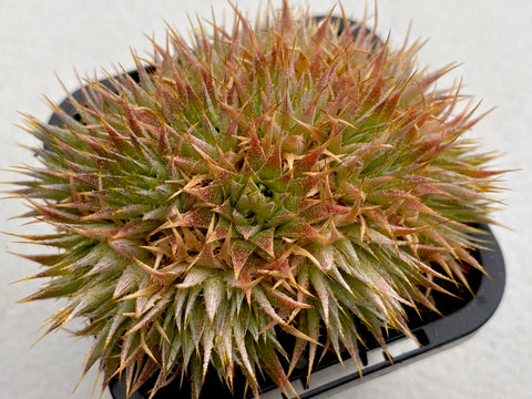 Deuterocohnia 'Chlorantha' - nice clump