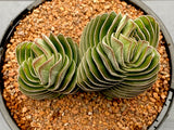Crassula Buddha's Temple with offset/s (L)