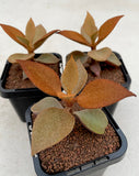Kalanchoe Orgyalis aka Copper Spoon (XS)