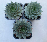 Sempervivum Grey Lady