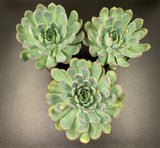 Echeveria Sunset Ridge (L)