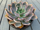 Echeveria Neon Breakers (L)