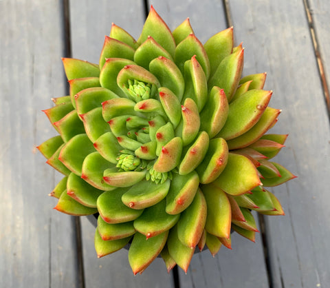 Echeveria Agavoides Jade Point (L)
