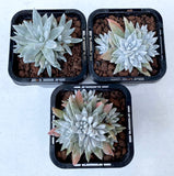 Dudleya gnoma 'White Sprite' (multiple heads)