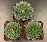 Sempervivum 'Blue Boy' succulent plant