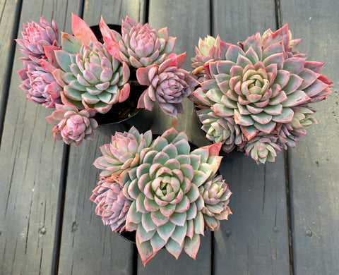 Echeveria Violet Queen with offsets (M)