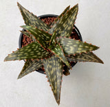 Aloe Galaxy (L) mature