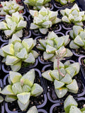 Haworthia retusa 'Ice City'