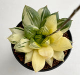 Haworthia Cuspidata variegated with offsets (#1)