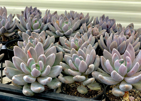 Sedeveria Blue Mist