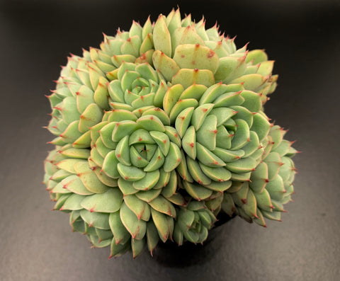 Echeveria Ben Badis cutting (x1)
