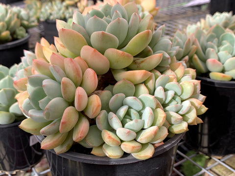 Graptoveria Moonglow x Exotica cutting (x1)