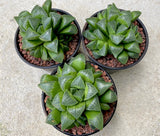 Haworthia retusa 'mutica' with offsets