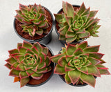 Echeveria Agavoides Miranda with offsets