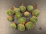 Sempervivum Raspberry ice cutting (set of 5)