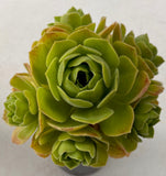 Aeonium ballerina reversion with offsets