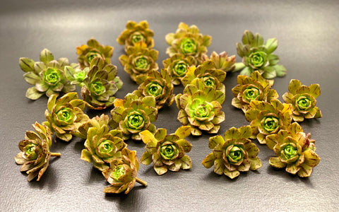 Aeonium Bronze Medal cutting (set of 4)
