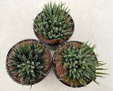 Aloe Haworthoides clump