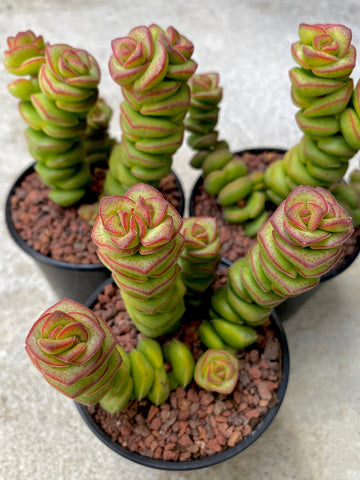 Crassula Jade Tower