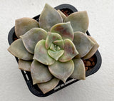 Graptoveria Purple Delight