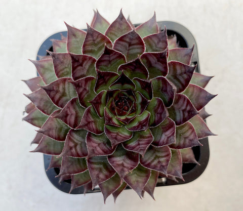Sempervivum Bronco
