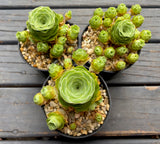 Aeonium Aureum aka Greenovia Aurea with offsets - green rose buds (M)
