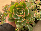 Echeveria Powder Blue (L)