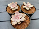 Graptopetalum Pentandrum Superbum (XS)