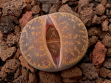 x1 Assorted Lithops - Living Stones