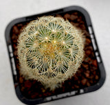 Mammillaria Elongata Copper King