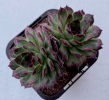 Sempervivum calcareum 'Guillaumes' (2-3H)