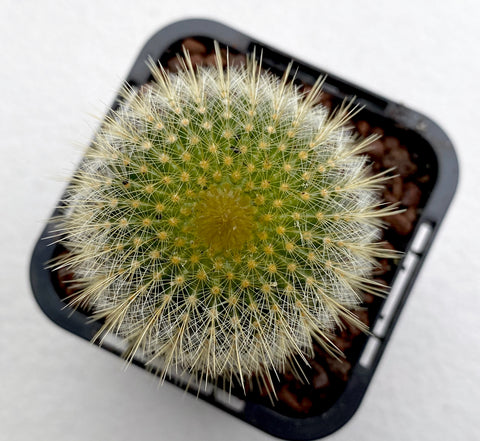 Eriocactus leninghausii - Golden Ball