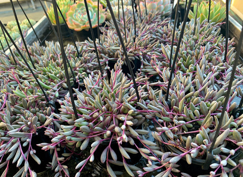 Othonna Capensis 'Ruby Necklace' succulent plant