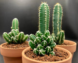 Cereus Tetragonous cv Fairy Castle with offsets cactus plant
