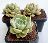 Graptoveria Margarete Reppin