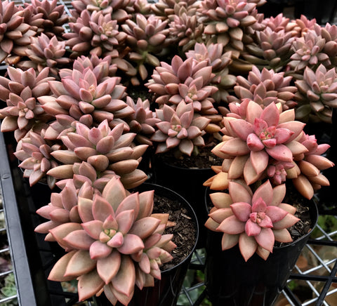 Sedum Bronze Delight (S)