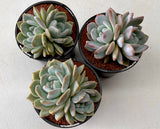 Echeveria Monroe (Twin head)