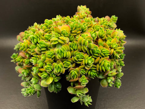 Crassula lunuginosa v pachystemon 'David' cutting (set of x10)