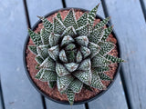 Haworthia Royal Albert (L)