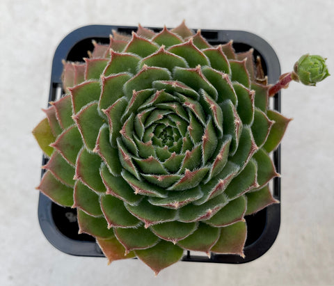 Sempervivum 'More Honey'