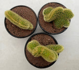 Cleistocactus Winteri Golden Rat Tail (Crest)