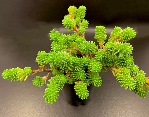 Sedum Multiceps (Miniature Joshua Tree) (XS)