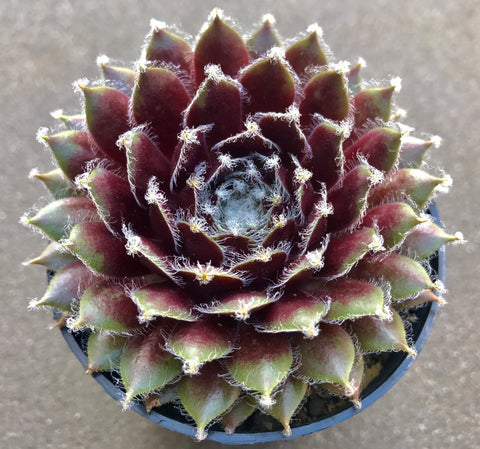 Sempervivum Raspberry Ice (S) succulent plant