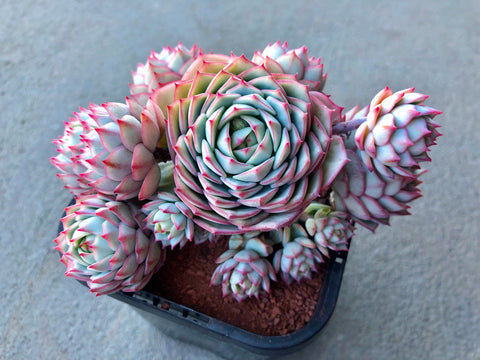 Echeveria Derenbergii with offsets succulent plant