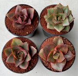 Echeveria 'Tomorrow Land' (S)